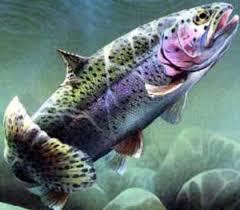 دانلود تحقیق سیکل پرورش ماهی قزل آلای رنگین کمان